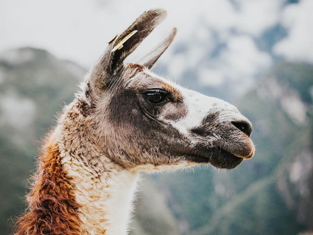 A closeup of a llama's face looking off to the side on a mountain.
