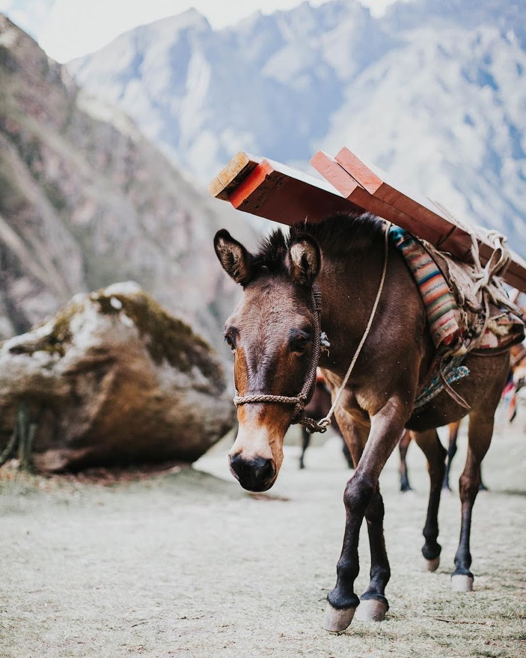 A brown donkey carrying 4 red wooden beams on its back.